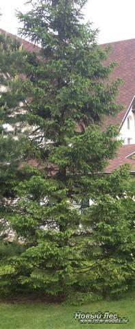Посадка Ели обыкновенной (Picea abies) по плану ландшафтного дизайна