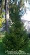 Посадка крупномеров Ели обыкновенной (Picea abies) на территории базы отдыха