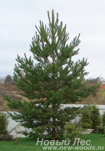 Посадка крупномеров Сосны обыкновенной (Pinus sylvestris) в Подмосковье