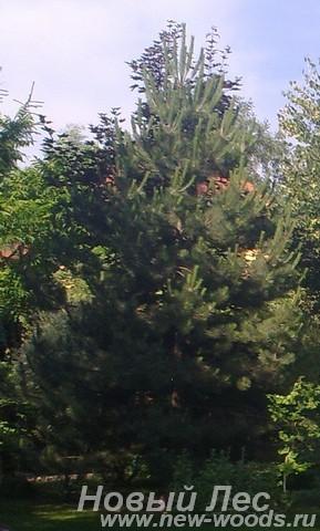 Посадка крупномеров Сосны обыкновенной (Pinus sylvestris) на участке у дома