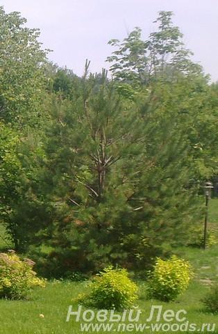 Декоративная посадка крупномеров Сосны обыкновенной (Pinus sylvestris)