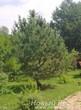 Посадка крупномера Сосны обыкновенной, природный «Бонсай»
