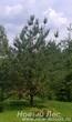 Посадка крупномеров Сосны обыкновенной в ландшафте