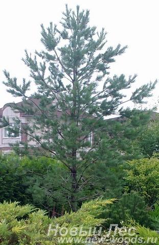 Посадка крупномера Сосны обыкновенной возле живой изгороди