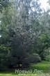 Посадка крупномеров Сосны обыкновенной при создании леса на участке