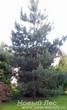 Посадка крупномеров Сосны обыкновенной в живой изгороди