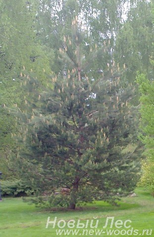 Декоративная посадка крупномера Сосна обыкновенная (Pinus sylvestris) для озеленения