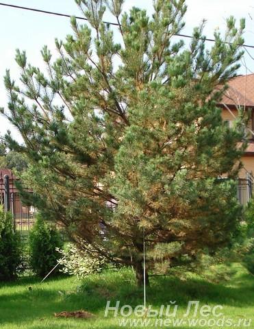Посадка крупномера Сосна обыкновенная, осенний листопад
