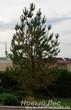 Посадка осенью крупномеров Сосны обыкновенной (Pinus sylvestris)