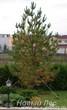 Осенняя посадка крупномеров Сосны обыкновенной (Pinus sylvestris)