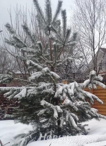 Крупномер Сосны обыкновенной укрыт снегом после зимней посадки