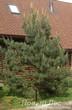 Посадка крупномера Сосна обыкновенная для озеленения автомобильной площадки