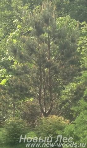 Декоративная посадка Сосны обыкновенной (Pinus sylvestris)