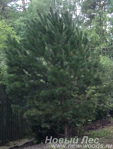 Первое дерево высажено в изгороди при посадке крупномеров Сосны обыкновенной (Pinus sylvestris)