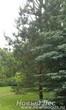 Высадка крупномера Сосны обыкновенной для озеленения