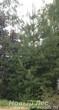 Посадка Сосны обыкновенной (Pinus sylvestris) в массиве