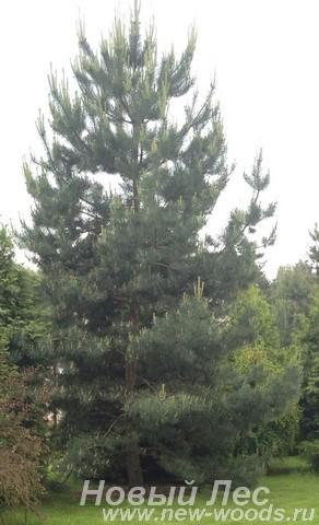 Посадка крупномера Сосна обыкновенная (Pinus sylvestris)