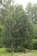 Центр композиции - Сосна обыкновенная (Pinus sylvestris)