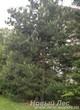 Посадка Сосны обыкновенной в декоративной зеленой изгороди