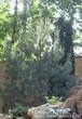 Посадка крупномеров Сосны обыкновенной около альпийской горки