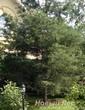 Посадка крупномеров Сосны обыкновенной у загородного дома