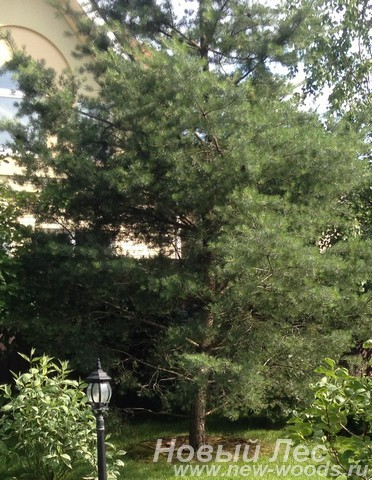 Посадка крупномеров Сосны обыкновенной у загородного дома в Подмосковье
