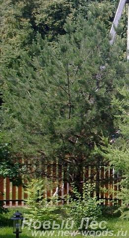 Посадка крупномеров Сосны обыкновенной на границе участка