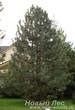 Посадка крупномеров Сосны черной (Pinus nigra) перед загородным домом