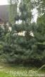 Посадка крупномера Сосна черная (Pinus nigra) в живой изгороди
