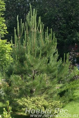 Декоративная посадка крупномера Сосна черная (Pinus nigra)