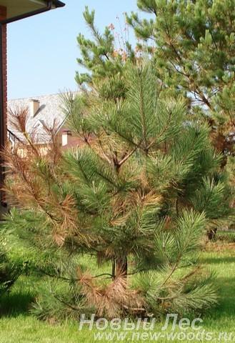 Посадка Сосны черной (Pinus nigra) - дерево болеет после пересадки