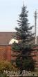 Посадка крупномеров Ели колючей форма сизая (Picea pungens)