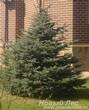 Посадка крупномеров Ели колючей стриженой (Picea pungens)