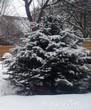 Зимняя посадка крупномера Ель колючая (Picea pungens)