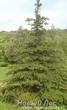 Посадка крупномеров Ель колючая форма зеленая (Picea pungens)