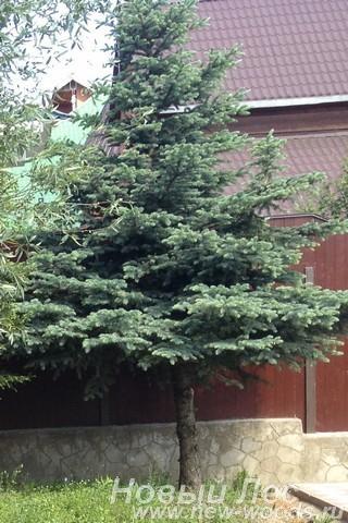 Посадка крупномеров Ели колючей (Picea pungens) стриженые нижние ветви
