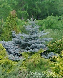 Крупномеры хвойные Ель колючая Глаука Глобоза (Picea pungens Glauca Globosa)