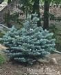 Посадка крупномеров Ели колючей Глаука Глобоза (Picea pungens Glauca Globosa)