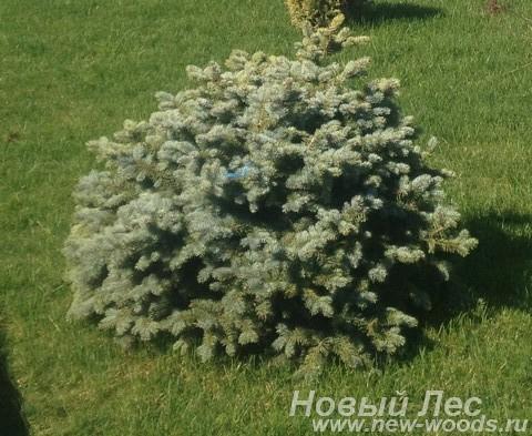 Посадка крупномера Ель колючая Глаука Глобоза (Picea pungens Glauca Globosa)