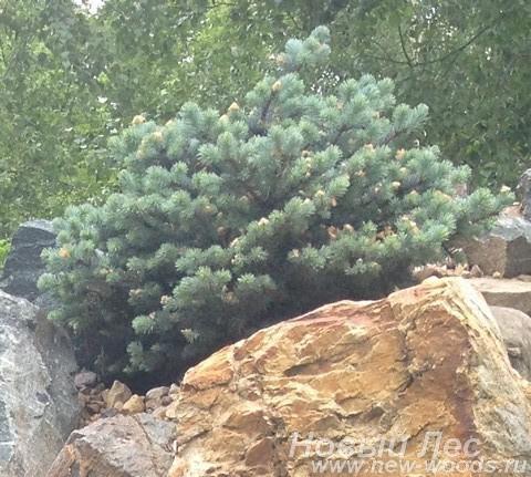 Посадка дерева Ель колючая Глаука Глобоза в альпинарии