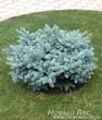 Декоративная посадка Ели колючей Глаука Глобоза (Picea pungens Glauca Globosa)