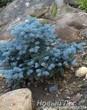 Посадка Ели колючей Глаука Глобоза в альпийском саду