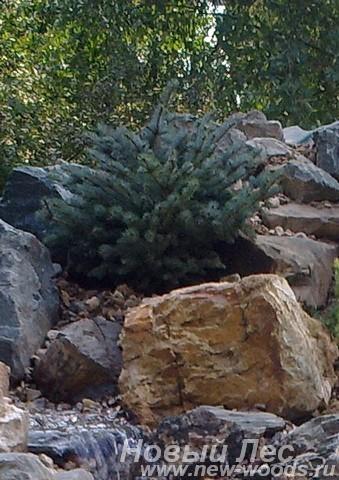 Ель колючая Глаука Глобоза (Picea pungens Glauca Globosa) на берегу ручья