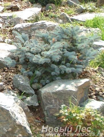 Посадка дерева Ель колючая Глаука Глобоза на каменистом берегу водоема