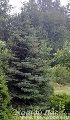 Посадка крупномера Ель колючая форма сизая (Picea pungens)