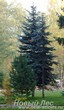 Посадка крупномеров Ели колючей формы сизой