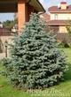 Посадка крупномера Ели колючей формы сизой, стриженой (Picea pungens)