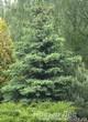 Посадка крупномеров Ели колючей формы сизой (Picea pungens) в хвойном саду