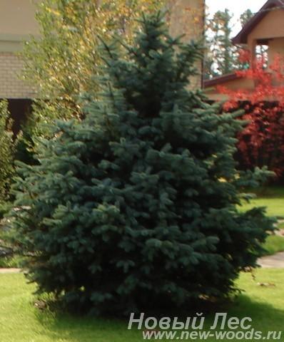Посадка крупномера Ель колючая форма сизая, стриженая (Picea pungens) - Рождественская ель