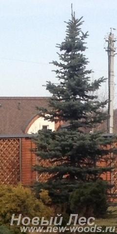Посадка крупномеров Ели колючей формы сизой (Picea pungens) вдоль забора